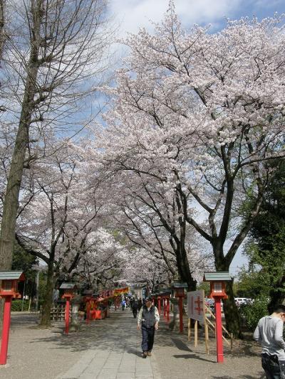 さくら満開の鷲宮神社