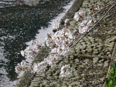 「2010年高知の桜⑤」高知市内のローカル桜スポットでお花見三昧~♪