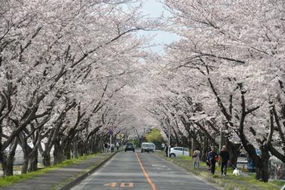 '10三重の桜名所:鍋田川堤
