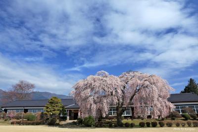 下伊那の春。杵原学校(旧山本中学)の枝垂れ桜