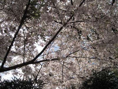 桜の花を楽しんできました。