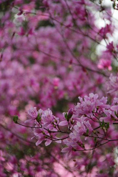 三重 伊奈冨神社の桜とつつじ