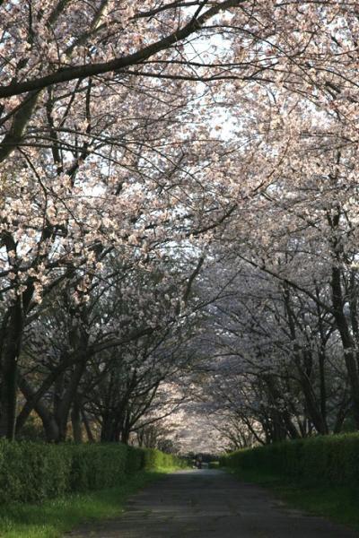 山里歩き☆愛知日進市・桜のトンネル