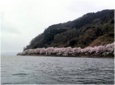 滋賀の桜  海津大崎~長浜