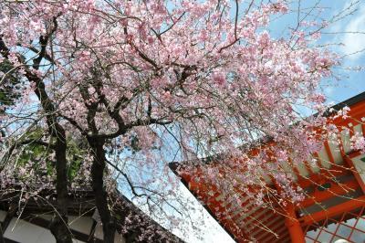「 春の高尾山 から 小仏城山へ 」(さくら訪ねて)