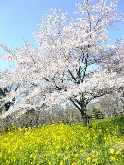 まだ桜の桃色と菜の花の黄色が楽しめる場所