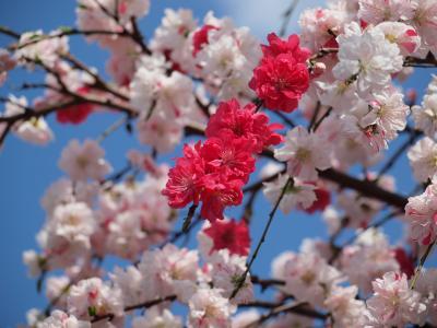 2010年4月 横浜の金沢文庫近くにある  称名寺の桜と源平しだれ桃のお花見