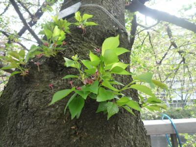 2010年04月 神田川の桜 その2