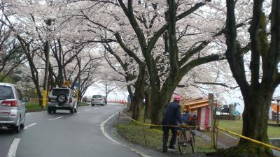 早朝から渋滞の海津大崎の桜見物