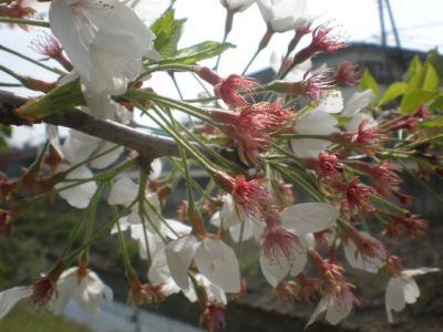 散れない桜・・・・遅過ぎる花見