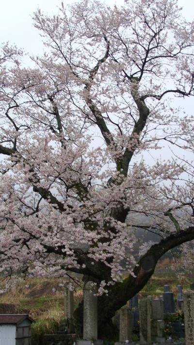 清水の枝垂れ桜