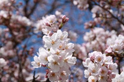 山形市~霞城公園の桜