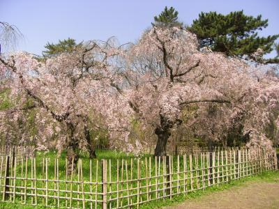 まだ間に合った!~御所で桜と山吹のお花見~(2010年春)