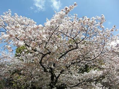 桜☆お花見☆