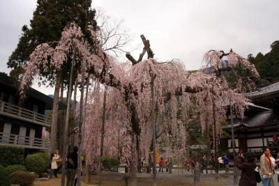 2010 身延山久遠寺の枝垂れ桜(その2)