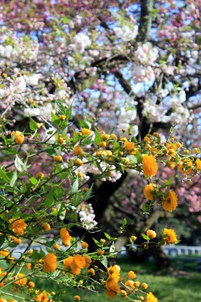 京都を歩く(56) 里桜と山吹咲く京都御苑へ