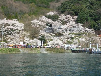 やっぱり桜は海津大崎に限ります
