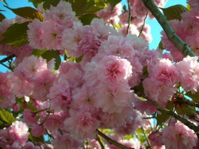 まだまだ桜(笑)