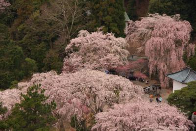 2010 身延山久遠寺の枝垂れ桜(その3)