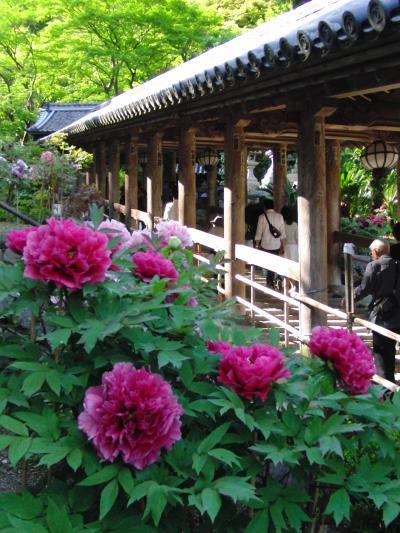 長谷寺のボタン満開 2010年GW