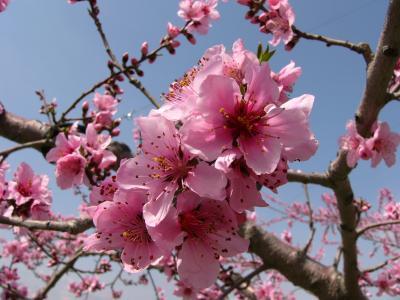 桃の花に逢いたくて@御坂