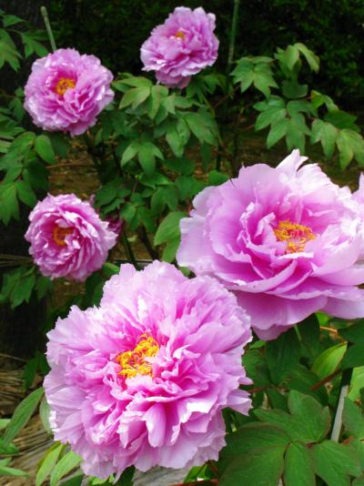 アンデルセン公園-25 ぼたんの花々勢揃い ☆西安からの品種も