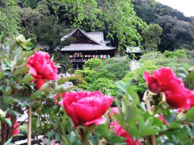 花のお寺を訪ねて! <ぼたんの長谷寺>