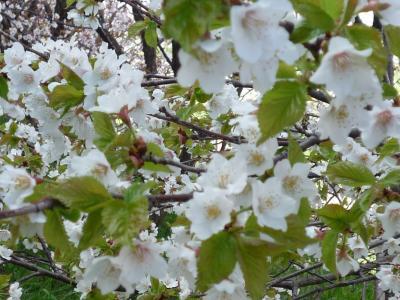 札幌・寒地土木研究所で千島桜満開1(2010年)