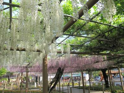 曼陀羅寺へ藤を見にいく 2010