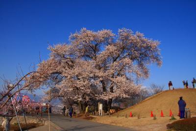 八代ふるさと公園の桜