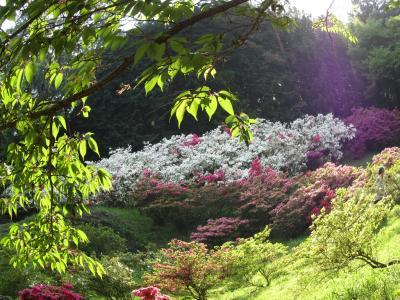 越生の五大尊つつじ公園と山吹の里、改め、東松山の箭弓神社のぼたん祭り(1)剪定されていないつつじの魅力