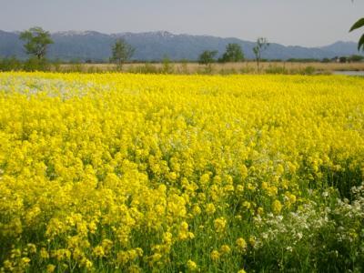 10/05 新潟で見る春の花@チューリップ~菜の花@