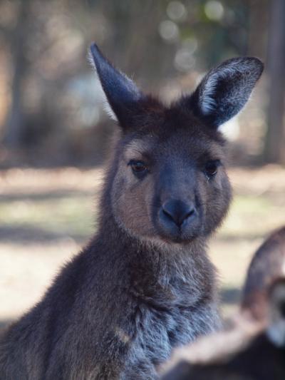 オーストラリア/カンガルー島で動物探求-vol2.カンガルー島編-@WILDERNESS VALELY&オーロラオゾンホテル(2010年4月)