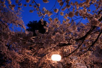 花鳥山で夜桜