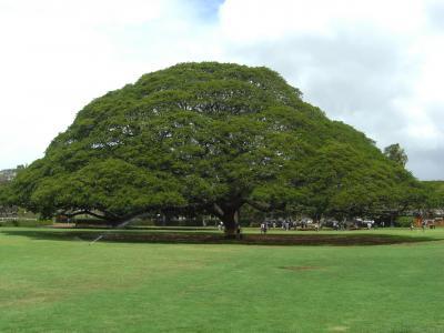 ○○の木を観にホノルルへ1日目