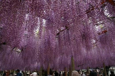 甘い香りに包まれて、大歳神社で千年藤を愛でる