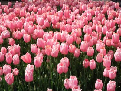 桜とチューリップのコラボレーション(なばなの里)