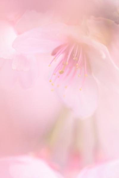 密蔵院の安行寒桜 2010