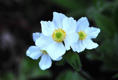 カムチャッカ雲上の花々と残雪の山  1 (出発~2日目アバチャ山 ハイキング)