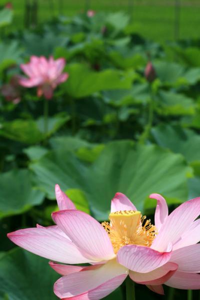 山里歩き☆愛知・三好(みよし)福谷の田園に咲くハスの花
