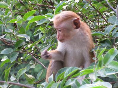 スリランカ旅行記 番外編~お猿さんに会えるホテル ヘリンタスカンダラマホテル~