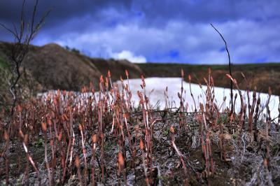 カムチャッカ雲上の花々と残雪の山4 (3日目ビリュチンスキー山花ハイキング午後)