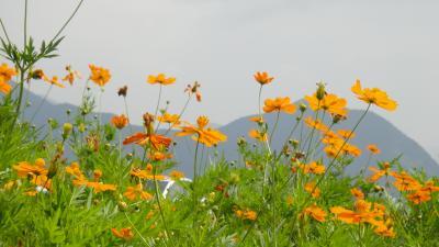 真夏の恋人岬の花