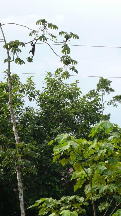 おサルがのんびりと木から木へ。