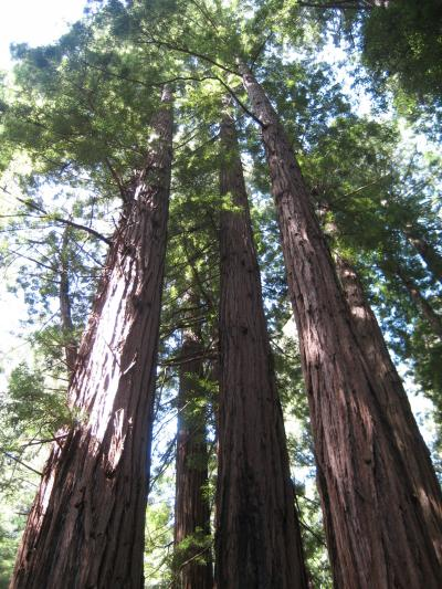 Northern California(5)-Muir Woods National Monument