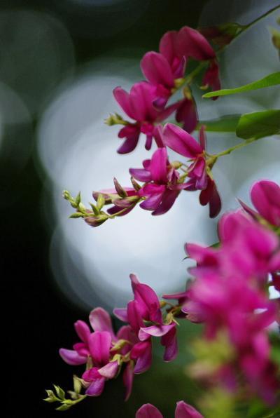 萩は咲いたかな~ 梨木神社へ