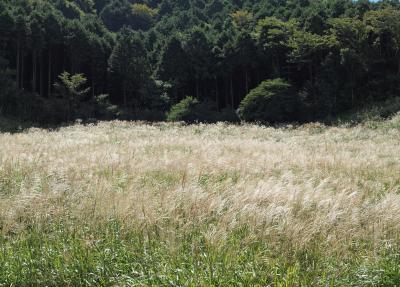 2010年9月18日 箱根 仙石原 すすき野原は、銀色に輝き始め、もう少しで見ごろを迎えようとしています。