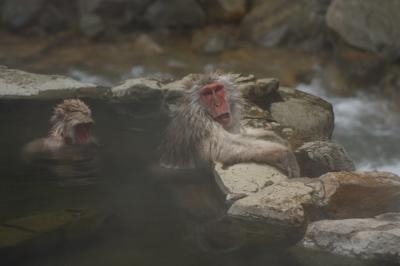 地獄谷温泉は猿☆猿天国