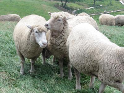 大関嶺(デグァンリョン)羊牧場