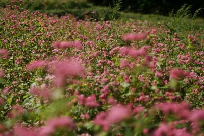 山里彩る!ヒマラヤ原産赤ソバの花